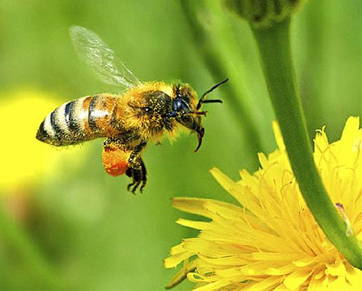 Abelhas selvagens correm risco de extinção